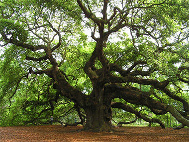 A photo the Angel Oak in Johns Island, South Carolina, a huge and ancient tree that sprouted up before Columbus sailed for the New World.
